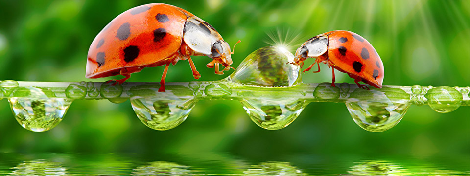 With the sun shining brighlty in the background two lady bugs meet in the center of a frond covered in water droplets that is hanging just above a pool of water.