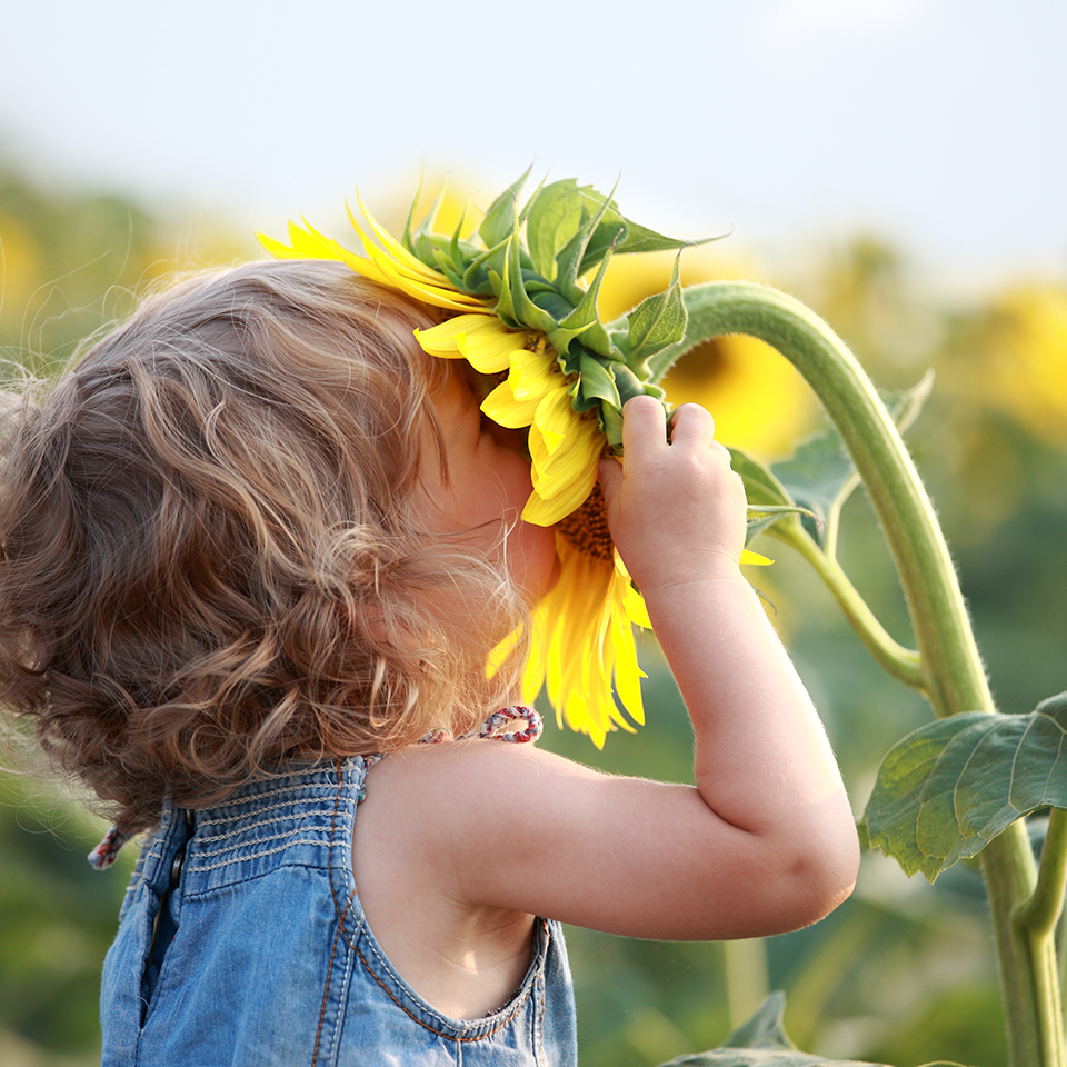 An incredibly cute little girl with blonde curls laughs as she places her face inside a Sunflower.