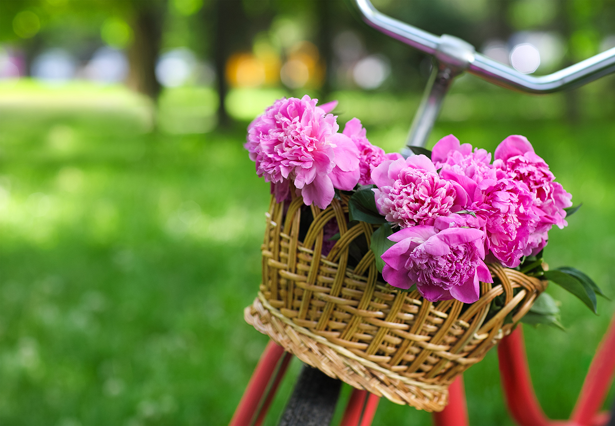 Focus on a vintage bicycle basket full of peony flowers in a park in the Spring.